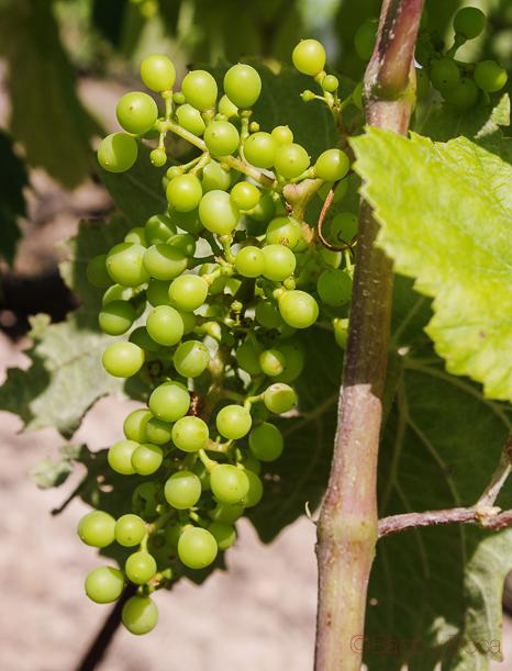 Racimo uvas en finca Viladellops