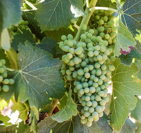 uvas en castellroig